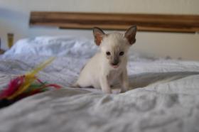 Foto 4 Siam und OKH Kätzchen suchen ein Zuhause!