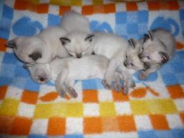 Siam Tay Babys