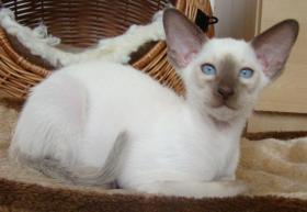 Siamese Katze und Oriental Katze mit Papiere