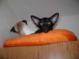 Foto 2 Siamese Katze und Oriental Katze mit Papiere
