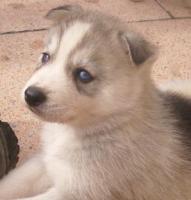 Siberian Husky Welpen im APRIL 2011