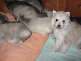 Foto 2 Siberian Husky Welpen im APRIL 2011
