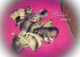 Foto 2 Siberian Husky Welpen mit FCI Papieren