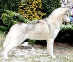 Foto 4 Siberian Husky Welpen mit FCI Papieren