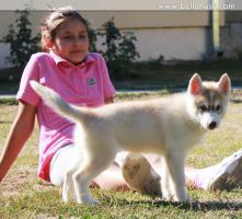 Foto 4 Siberian Husky Welpen aus TOP Verpaarung