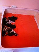 Foto 9 Siberian Husky Welpen geb. am 31.12.2009