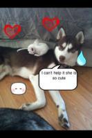 Foto 11 Siberian Husky Welpen geb. am 31.12.2009