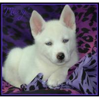 Foto 3 Siberian Husky Welpen zu verkaufen!
