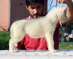 Foto 3 Siberian Husky Welpen zu verkaufen