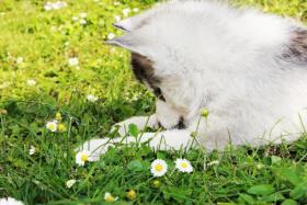 Foto 5 Siberian Husky Welpen zu verkaufen