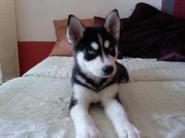 Sibirian Husky umständehalber zu verkaufen