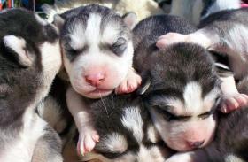 Foto 8 Sibirische Huskywelpen Siberian Husky Welpen