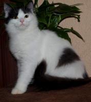 Foto 2 Sibirische Kätzchen mit Stammbaum