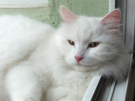 Sibirische Katze, weiß