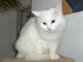Foto 2 Sibirische Katze, weiß