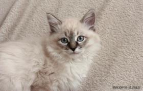 Foto 4 Sibirische Katzen & Neva Masquarade mit Stammbaum!