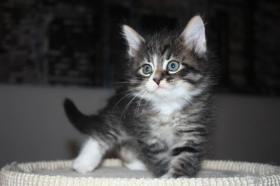 Foto 5 Sibirische Katzen & Neva Masquarade mit Stammbaum!