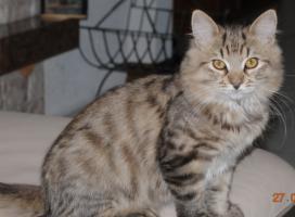 Sibirische Katzenbabys