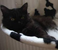 Foto 2 Sibirische Katzenbabys