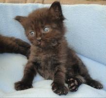 Foto 3 Sibirische Waldkatzen