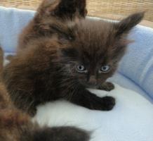 Foto 4 Sibirische Waldkatzen