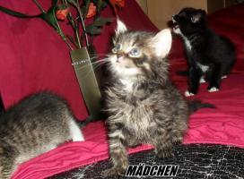 Foto 2 Sibirische Waldkatzen