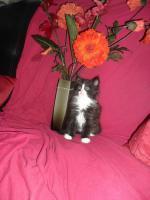 Foto 7 Sibirische Waldkatzen
