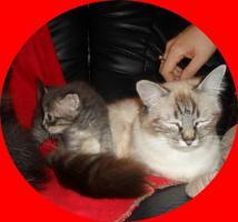 Foto 8 Sibirische Waldkatzen