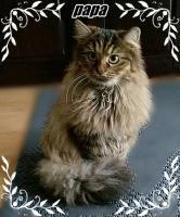 Foto 9 Sibirische Waldkatzen