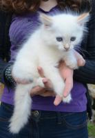 Foto 4 Sibirische Waldkatzen Neva Masquarade