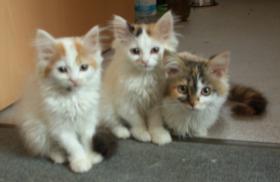 Sibirische Waldkatzen, noch 3 süße Mietzen 11 Wochen alt