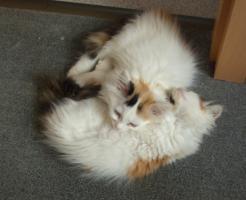 Foto 3 Sibirische Waldkatzen, noch 3 süße Mietzen 11 Wochen alt