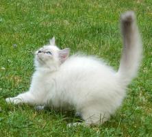 Foto 2 Sibirische&Neva Masquarade Kätzchen mit Papiere .passt für Allergiker
