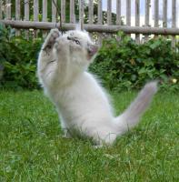 Foto 3 Sibirische&Neva Masquarade Kätzchen mit Papiere .passt für Allergiker
