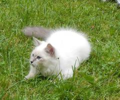 Foto 5 Sibirische&Neva Masquarade Kätzchen mit Papiere .passt für Allergiker