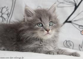 Sibirisches Kitten mit Stammbaum. Ab Mai zu vergeben...
