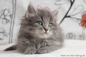 Foto 2 Sibirisches Kitten mit Stammbaum. Ab Mai zu vergeben...