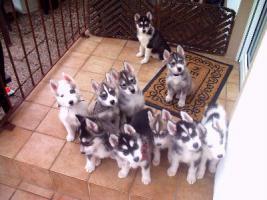 Foto 4 Sieben reinrassige Husky-Welpen suchen ein tolles Zuhause
