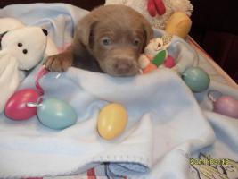 Silber Labrador Welpen!