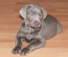 Silver und Charcoal Labrador Welpen
