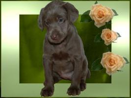 Foto 3 Silver und Charcoal Labrador Welpen