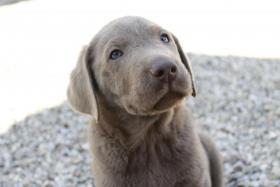 Silver Labrador Welpen ab sofort abzugeben!