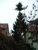 Foto 3 Sind Ihre Bäume zu groß geworden - sollen gefällt werden?