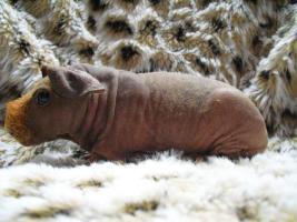 Skinny Pigs Nacktmeerschweinchen abzugeben