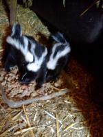 Skunkbabys u. Frettchenbabys