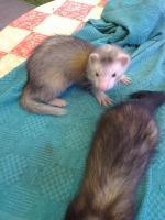 Foto 2 Skunkbabys u. Frettchenbabys