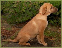 Snickers, männlich, ca. 4 Monate, 38 cm, Labrador-Mix, gechipt