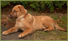 Foto 3 Snickers, männlich, ca. 4 Monate, 38 cm, Labrador-Mix, gechipt
