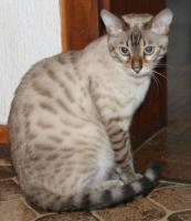 Snow -Bengalkater seal lynx point