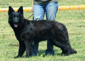 Foto 2 Sommer-Aktion beim Hundetrainer: Ausstellungstraining!!!